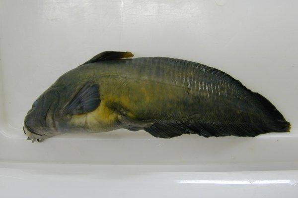 Freshwater catfish, Tandanus tandanus