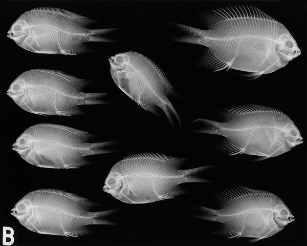 I.17476-021 & I.37907-001 Acanthochromis polyacanthus X-ray