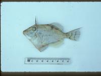 I.26246-001 Paramonacanthus filicauda