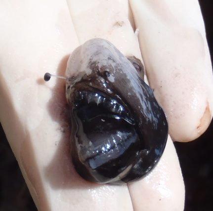 I.45438-002 - Melanocetus johnsonii