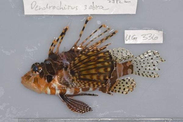I.44721-004 - Dendrochirus zebra