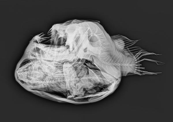I.21364-004 - Melanocetus johnsonii