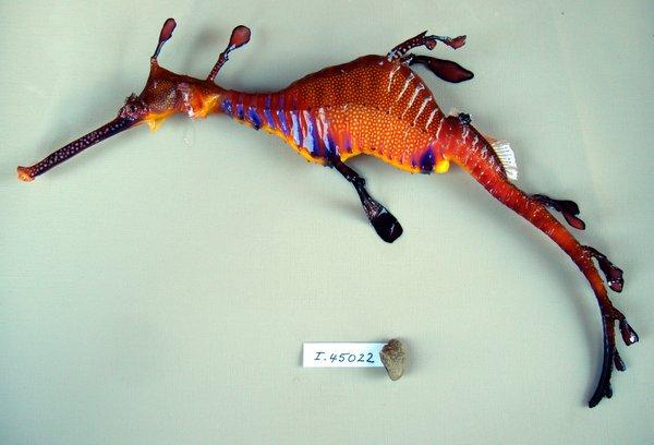 I.45022-029 - Phyllopteryx taeniolatus