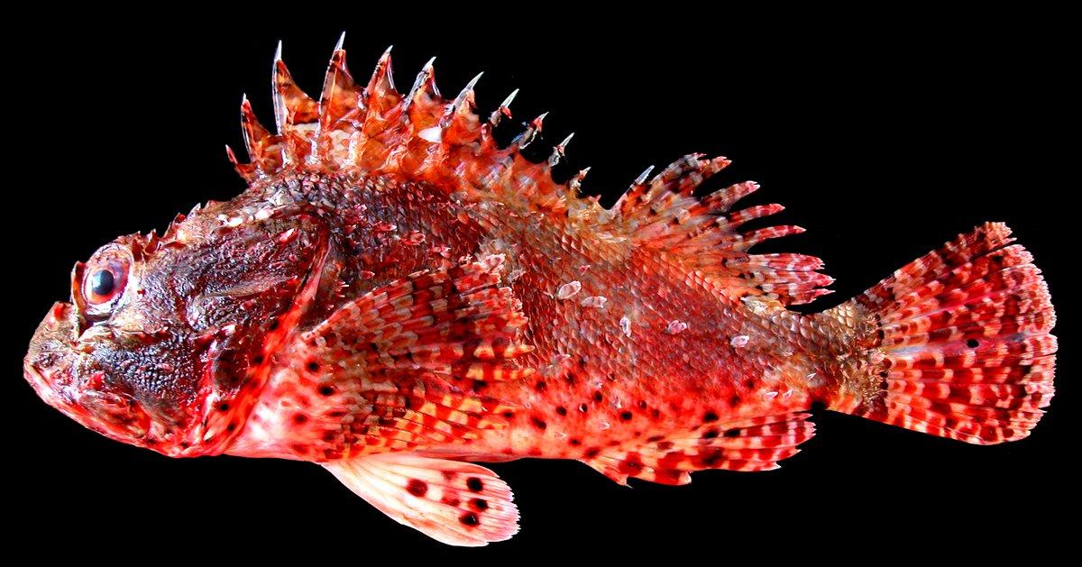 Eastern Red Scorpionfish, Scorpaena jacksoniensis