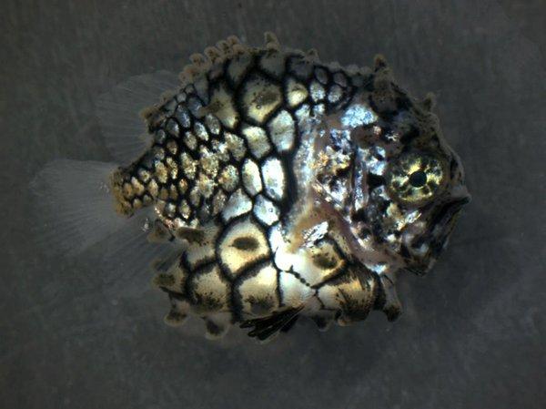 I.46216-001 Cleidopus gloriamaris