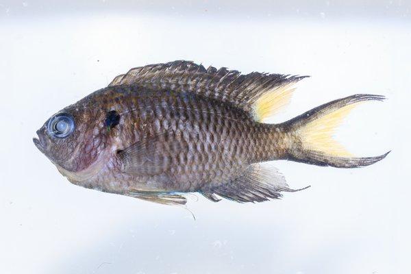 <i>Neopomacentrus cyanosis</i>