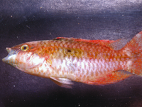 I.20752-021 - Oxycheilinus bimaculatus