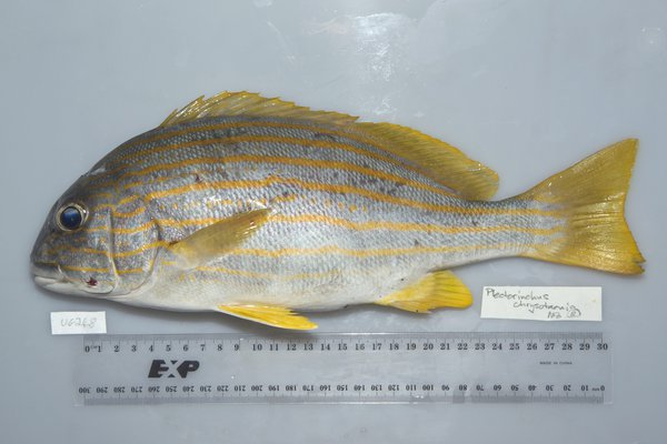 I.44718-003 - Plectorhinchus chrysotaenia