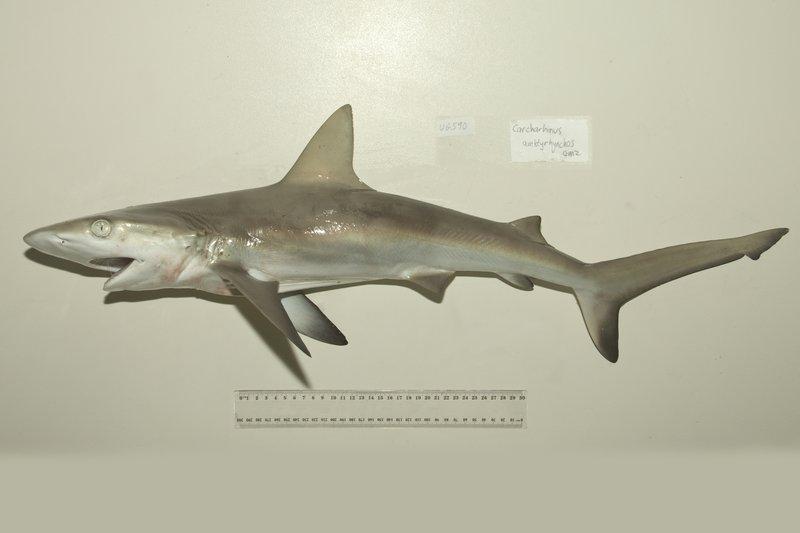 I.44732-014 - Carcharhinus amblyrhynchos (Whitley)