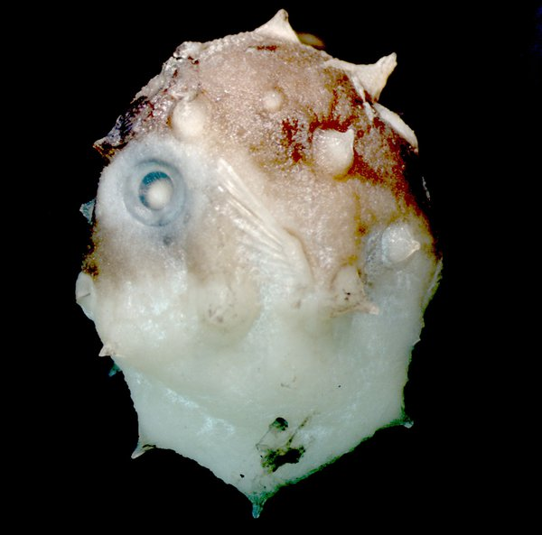 I.43598-001  Mola alexandrini