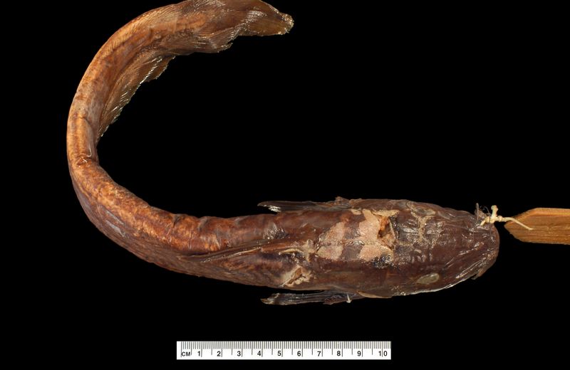 IA.7278: Holotype Lambertichthys ater sepikensis Whitley, 1956 (dorsal view)