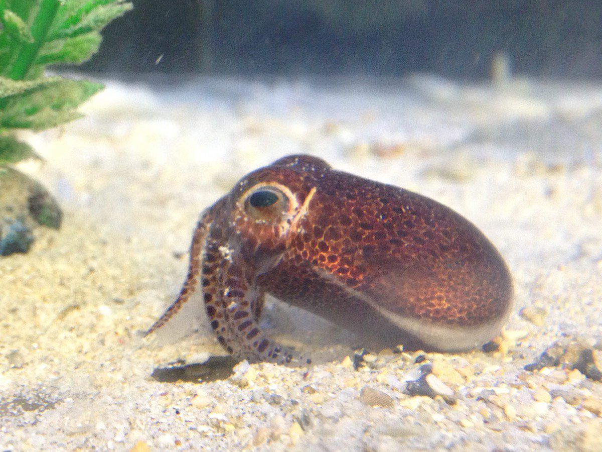 Euprymna brenneri, Bobtail Squid