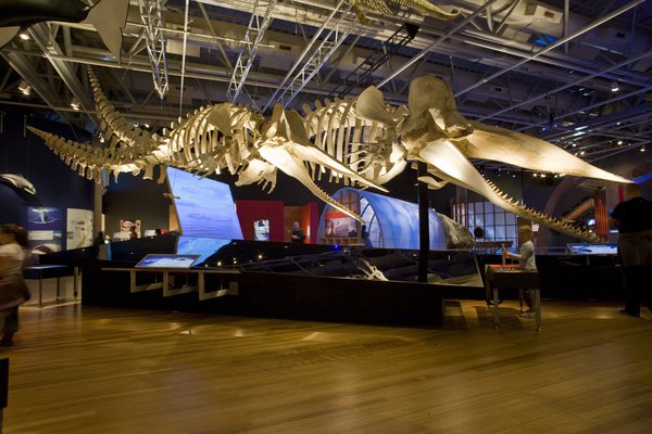 Two Sperm Whale Skeletons in Whales | Tohorā