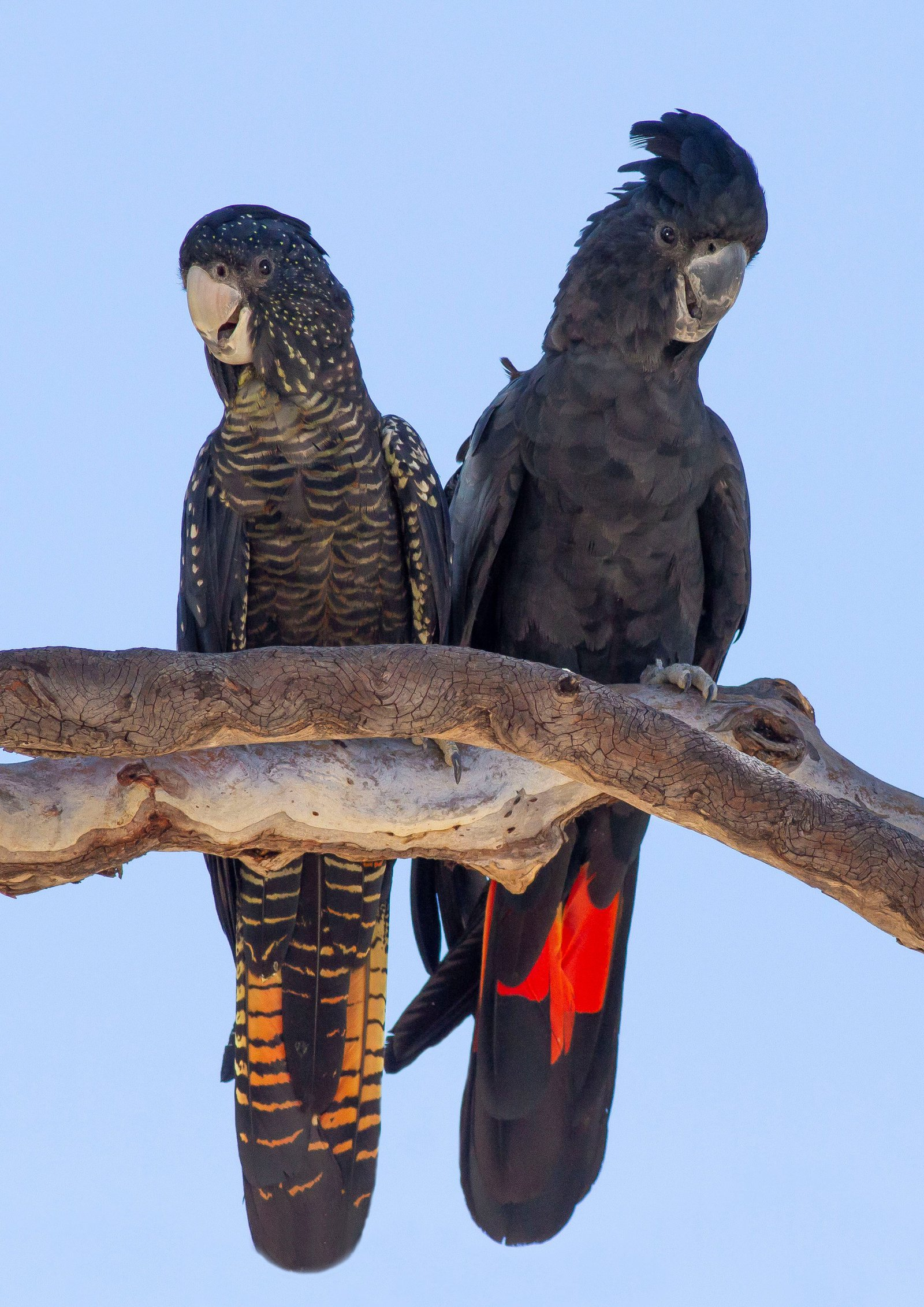 Red-tailed black-cockatoos (Calyptorhynchus banksii) displaying the distinct orange-yellow tail panels of a female (left) and the red tail panels of the male (right).
