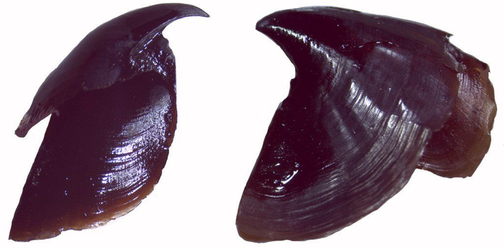 Left, upper beak; right, lower beak from a Vampire Squid. The beak sits at the base of the arms and the two parts fit together in a parrot-like arrangement.