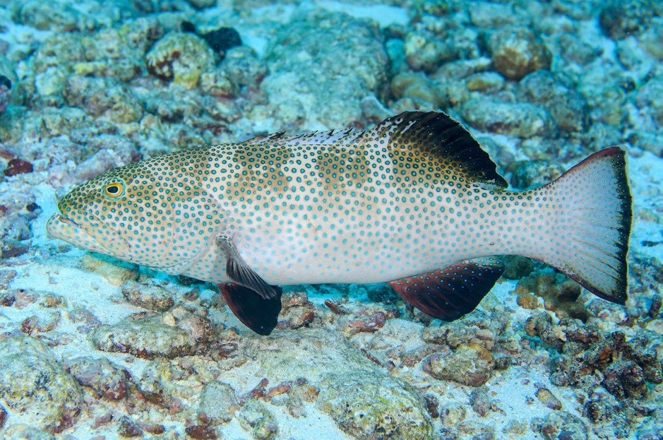 Passionfruit coral trout (Plectropomus areolatus) at the Cocos (Keeling) Islands, which we detected with our environmental DNA (eDNA) approach.