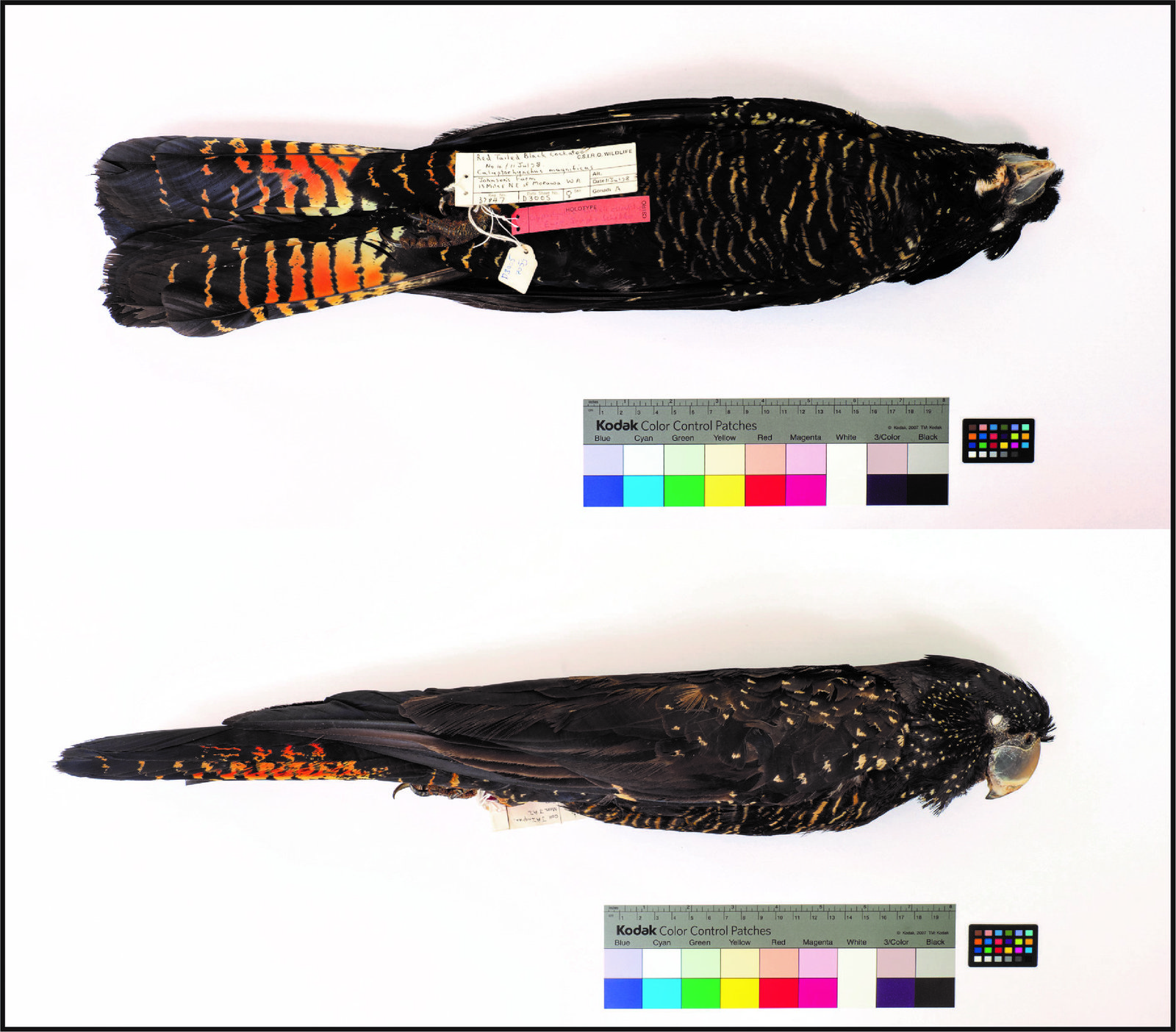 holotype is a specimen held at CSIRO's Australian National Wildlife Collection (ANWC), and it is specimen ANWC B37847