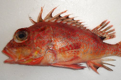 Incised Gurnard Perch, Neosebastes incisipinnis
