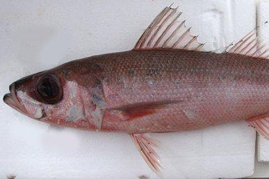 Japanese Rubyfish, Erythrocles schlegelii