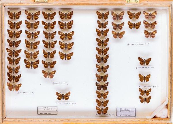 John Landy Butterflies Drawer 10 - 2