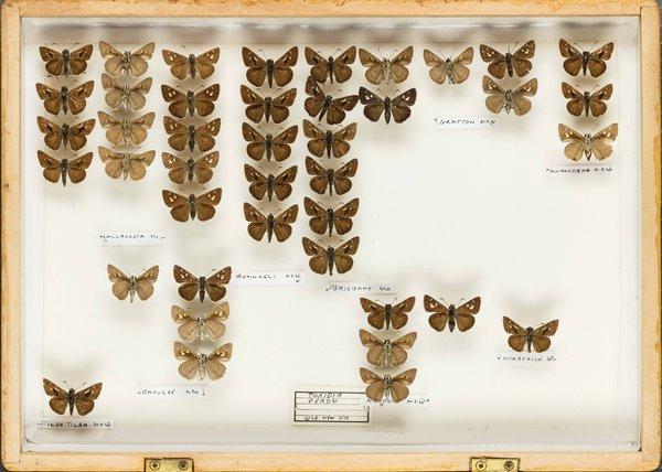 John Landy Butterflies Drawer 11 -1