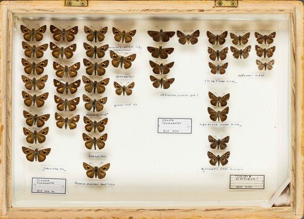 John Landy Butterflies Drawer 11 - 2