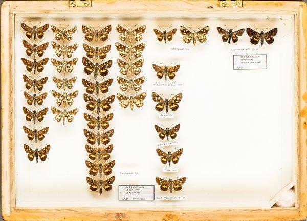 John Landy Butterflies Drawer 12 - 2