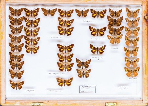 John Landy Butterflies Drawer 13 - 1