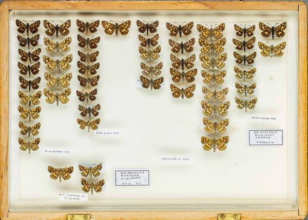 John Landy Butterflies Drawer 14 - 1