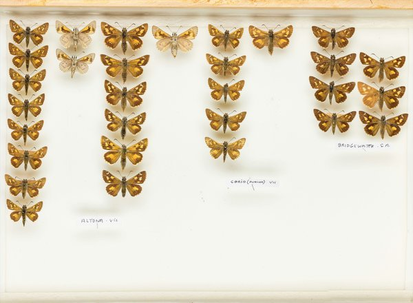 John Landy Butterflies Drawer 15 - 1