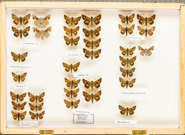 John Landy Butterflies Drawer 16 - 1