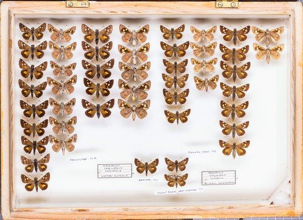John Landy Butterflies Drawer 17 - 2