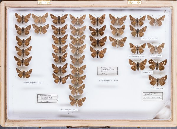 John Landy Butterflies Drawer 18 - 2