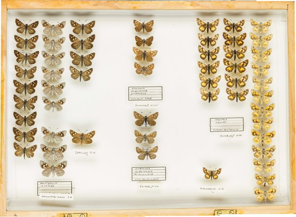 John Landy Butterflies Drawer 19 - 1