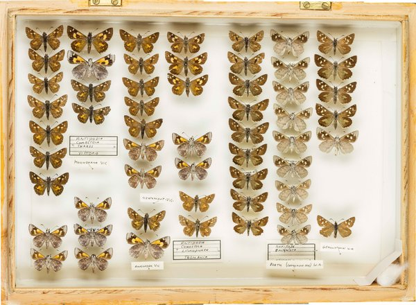 John Landy Butterflies Drawer 19 - 2