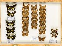 John Landy Butterflies Drawer 1 - 1