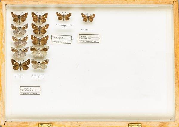John Landy Butterflies Drawer 20 - 1