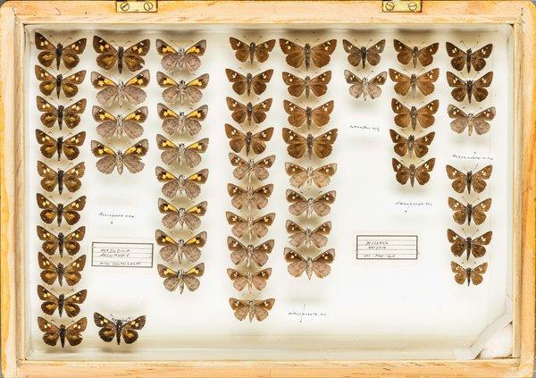 John Landy Butterflies Drawer 20 - 2