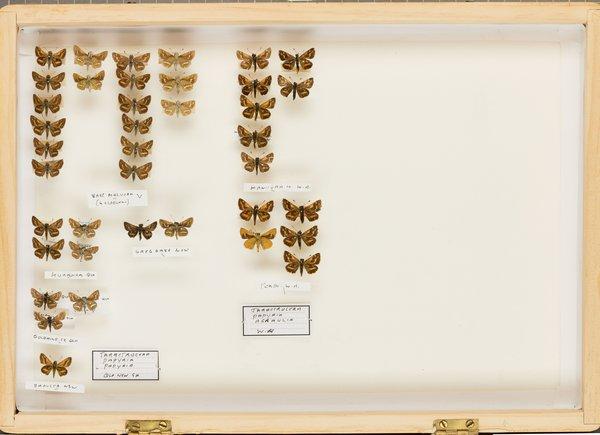 John Landy Butterflies Drawer 21 - 1