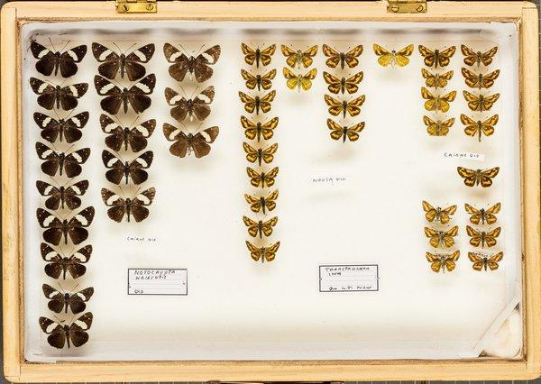 John Landy Butterflies Drawer 21 - 2