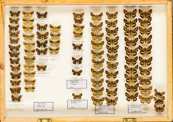 John Landy Butterflies Drawer 22 - 1