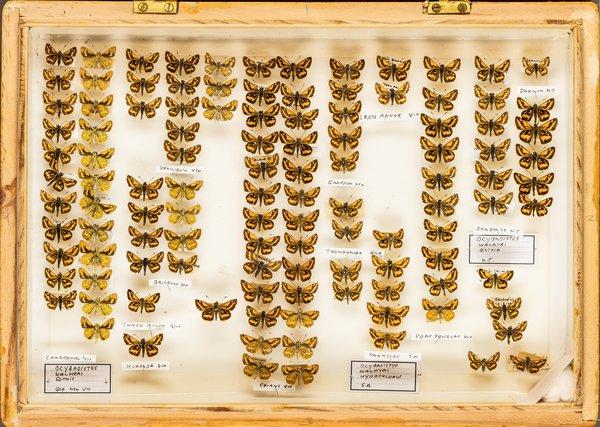 John Landy Butterflies Drawer 22 - 2