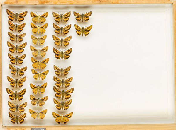 John Landy Butterflies Drawer 23 - 1