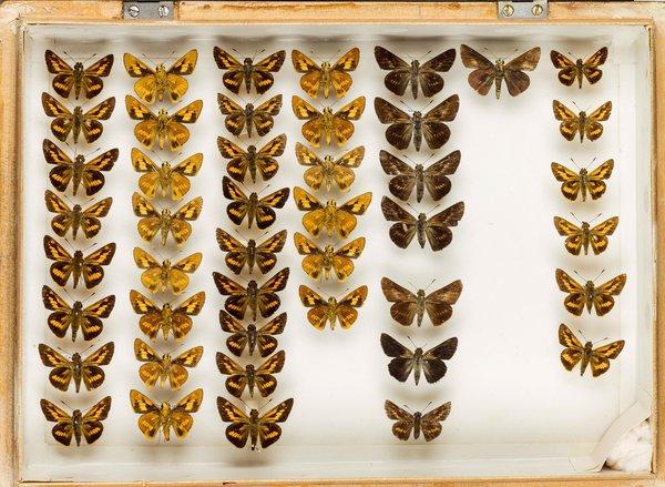 John Landy Butterflies Drawer 23 - 2
