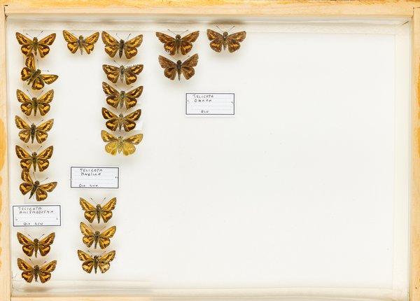 John Landy Butterflies Drawer 24 - 1