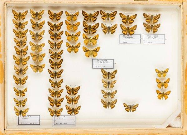 John Landy Butterflies Drawer 24 - 2