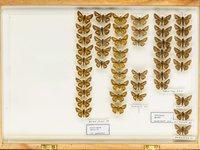 John Landy Butterflies Drawer 25 - 1