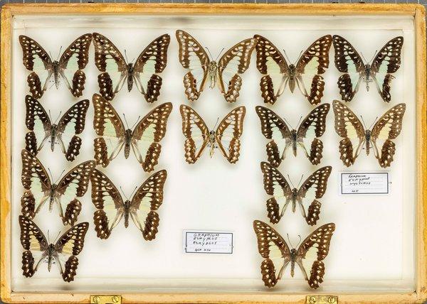 John Landy Butterflies Drawer 27 - 1