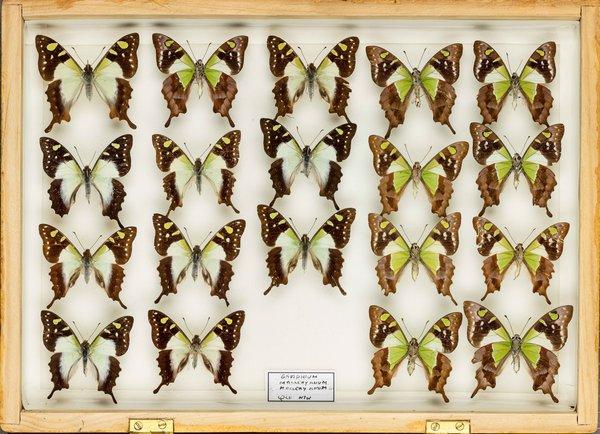 John Landy Butterflies Drawer 28 - 1