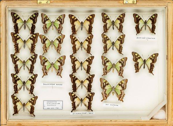 John Landy Butterflies Drawer 28 - 2